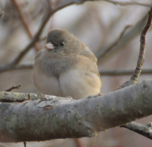 Puffy Junco | by jocelynsart