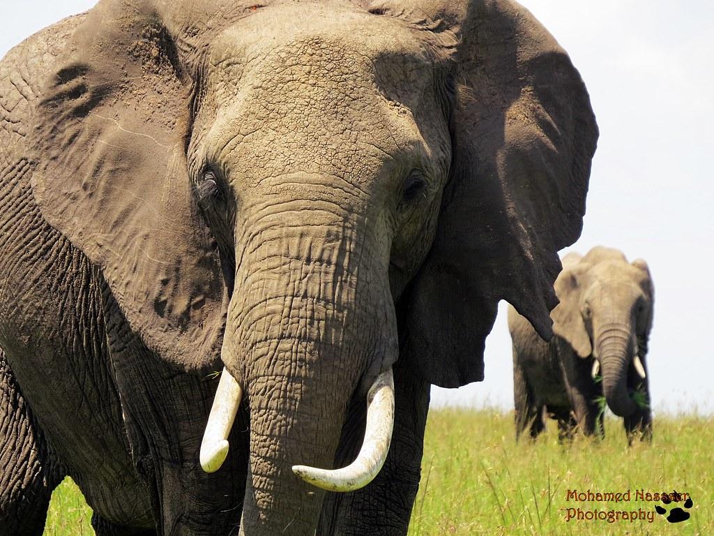 african elephant one of the big five animals maasai mara flickr. Black Bedroom Furniture Sets. Home Design Ideas