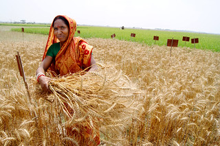 Farmer harvests wheat experiment, Bangladesh | by CIMMYT
