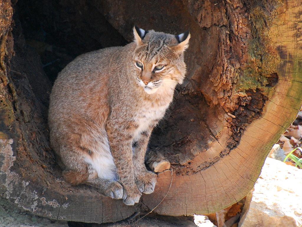 Bobcat  Exhibited As QuotWildcatquot At The Salato Wildlife