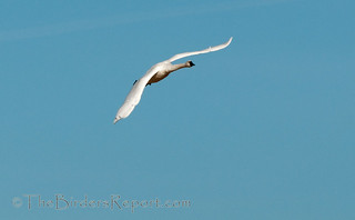 Tundra Swan In Flight | by TheBirdersReport.com