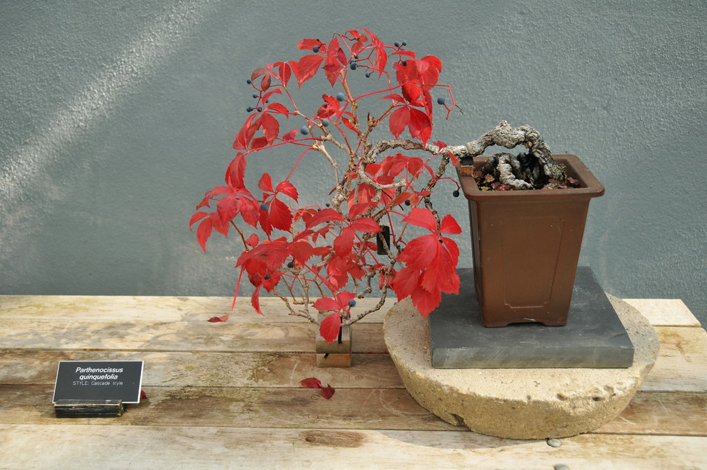Virginia Creeper Bonsai In The Bonsai Museum At The
