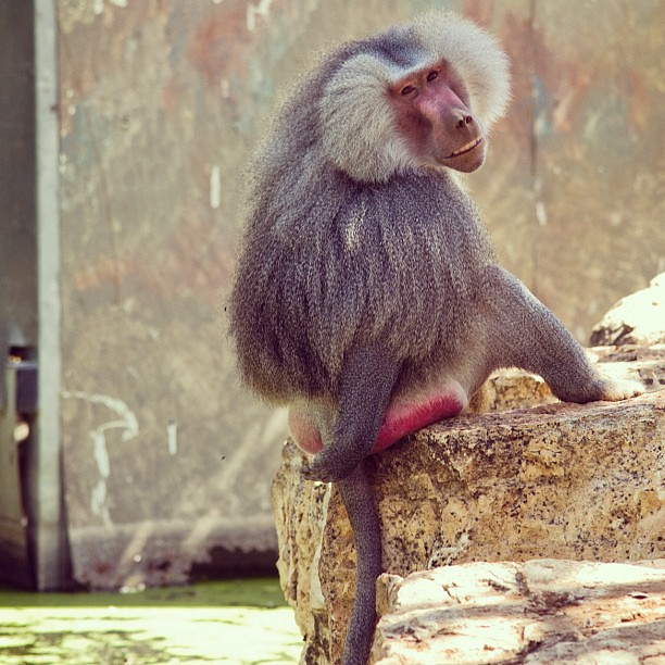 A Baboon's Bum Baboon Buttocks Images...