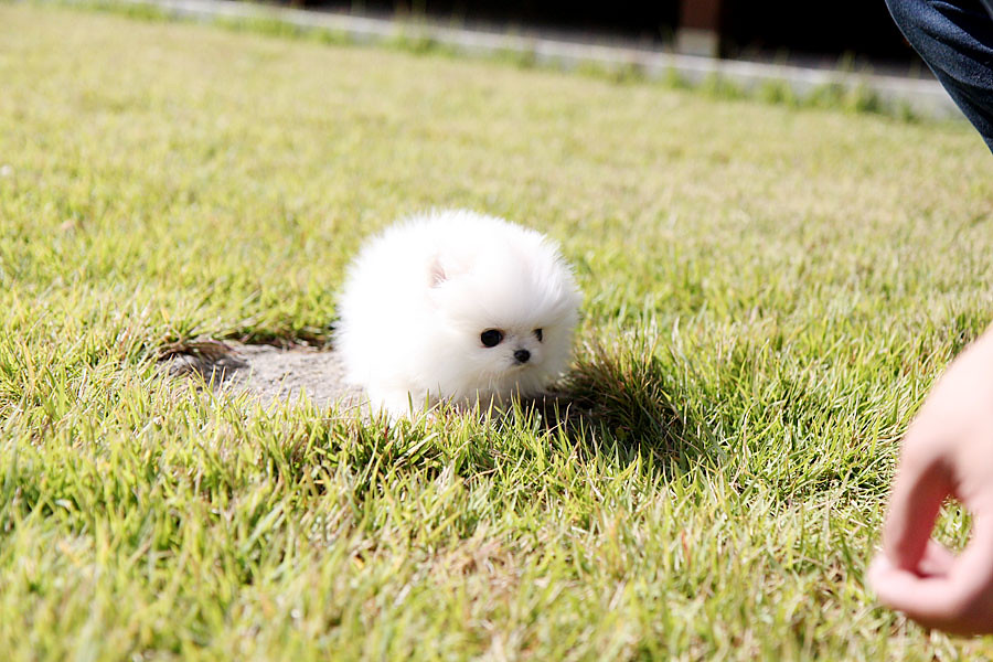 Fluffy Teacup Pomeranian Puppies Beautiful Teacup