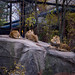 African Lion and Lionesses at Potter Park Zoo