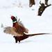 Pheasant  DV8B5958
