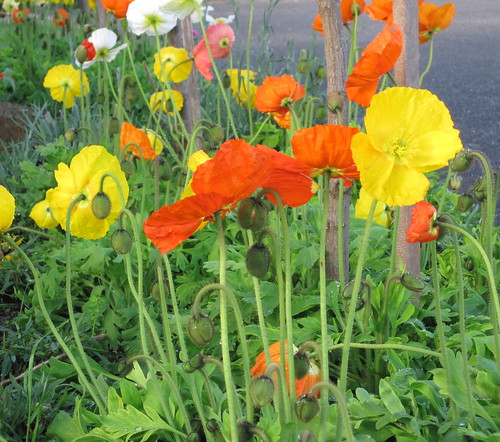 Poppies for Di | by Lois Stephens