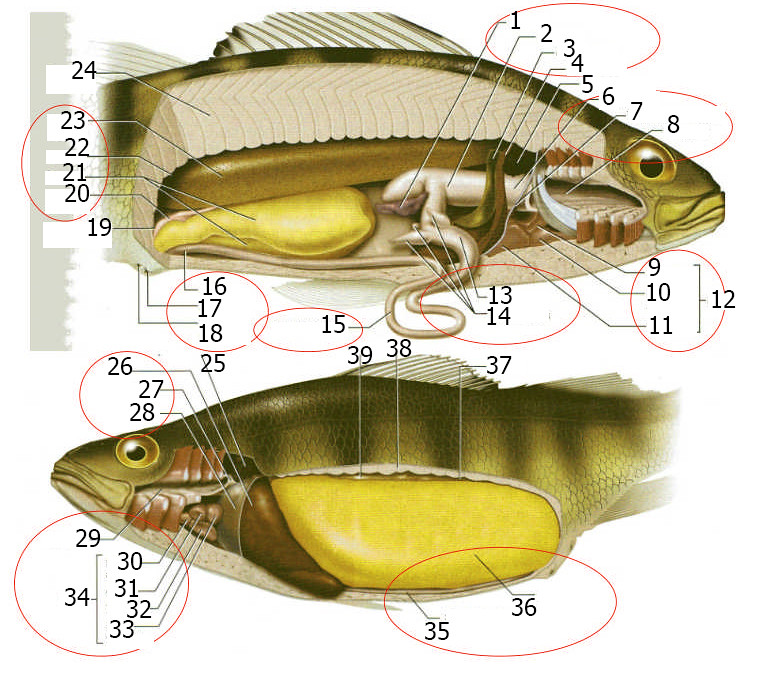 Perch Internal Anatomy No Labels | butterscme | Flickr