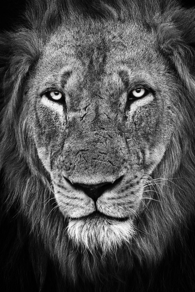 White lion face images - photo#6
