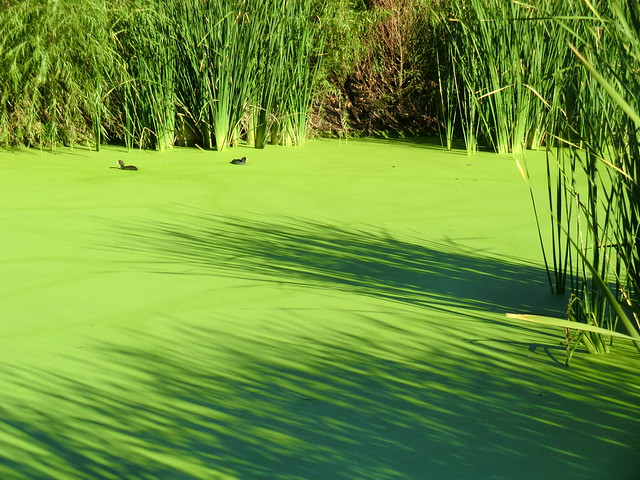 1210 coots in the duckweed flickr photo sharing for Garden pool duckweed