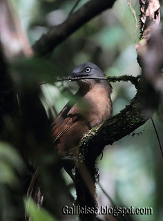 Ashy-headed Laughingthrush | by Gallicissa