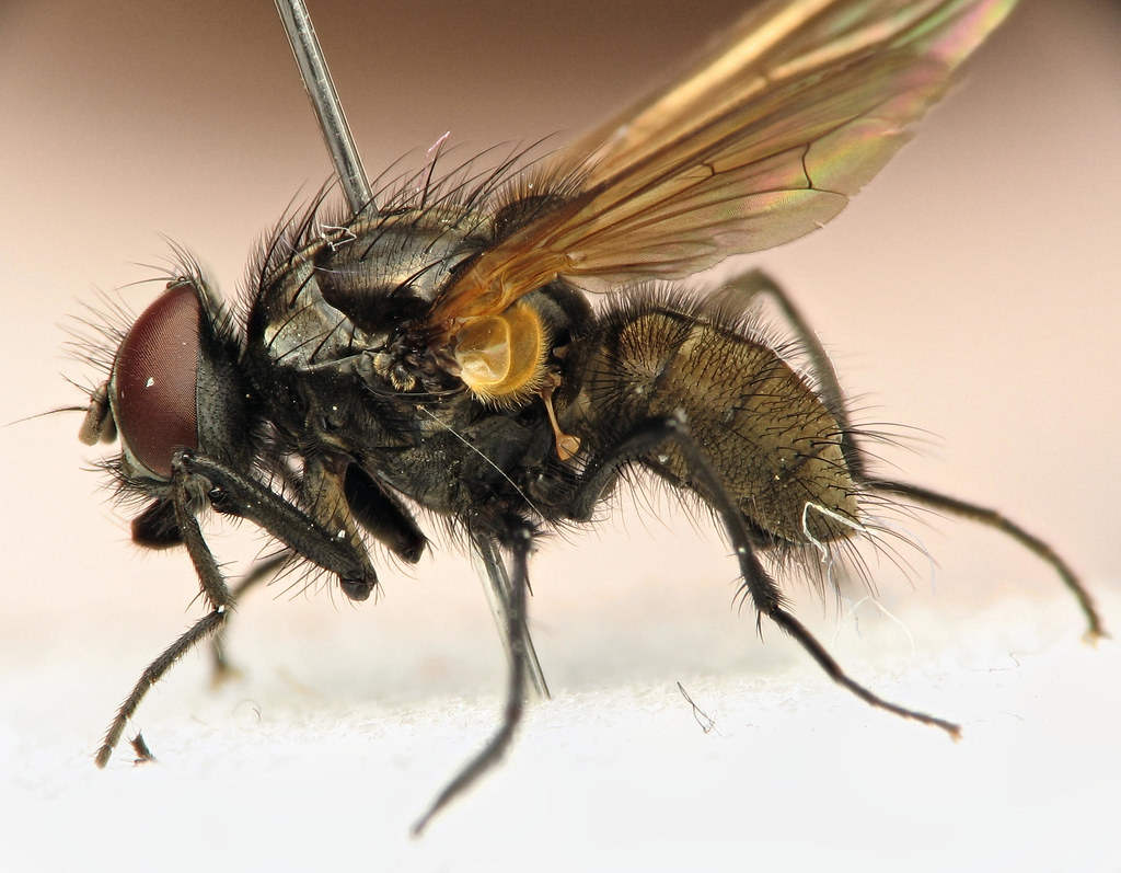 Hydrotaea Irritans Male Leif Karlsson Flickr