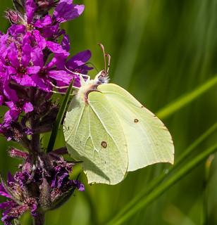 brimstone butterfly 052a (590)