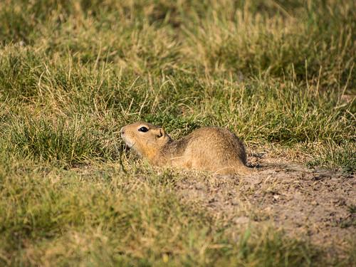 gopher (ground squirrel)