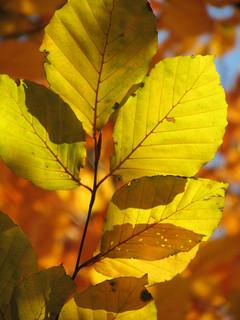 Herbstlaub (Rotbuche)