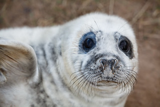 Seal Pup | by Moonrhino