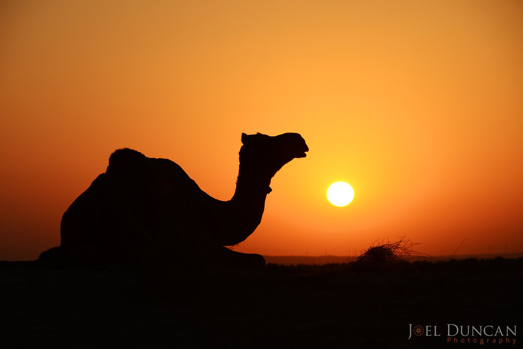 Camel at Sunrise | The sun rises in the Thar Desert in ...