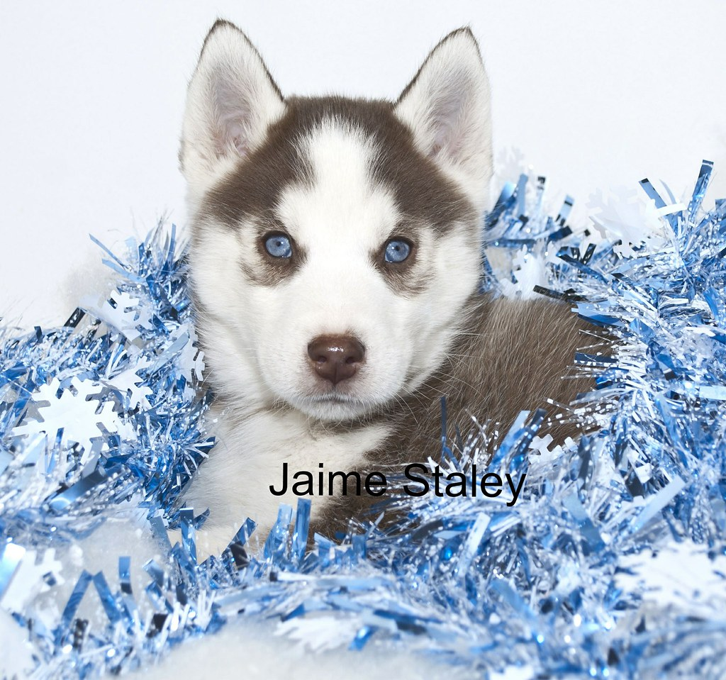 Husky Christmas Puppy.Christmas Husky Puppy Christmas Puppy With Blue Eyes And B