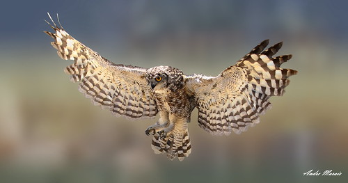 Eagle Owl in flight | Spotted Eagle Owl in flight | Andre ...