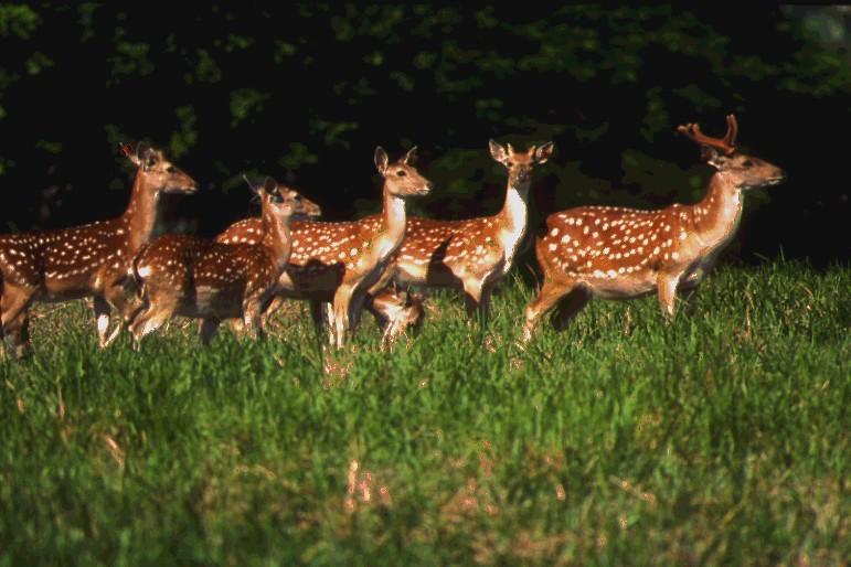 台灣梅花鹿是台灣獨有亞種。圖片來源:國家公園署