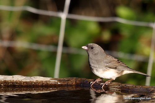 Dark-eyed Junco: Project FeederWatch 2012 | by Rachel Pennington