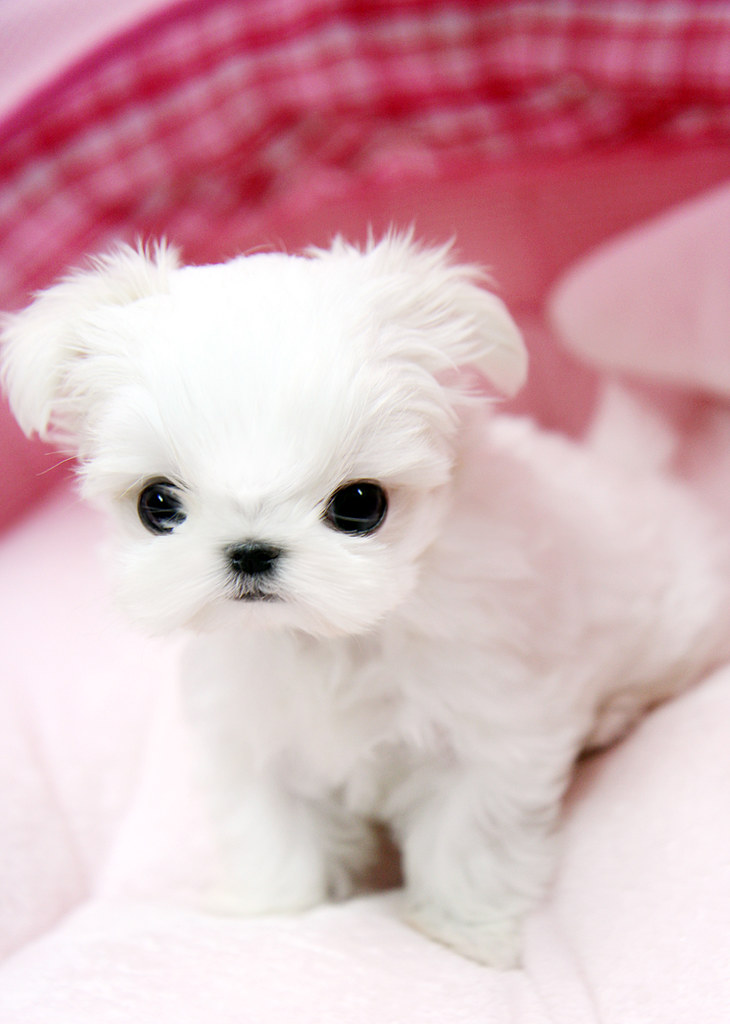 white teacup maltese adorable teacup maltese puppy this tiny teacup maltese 4871
