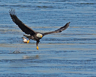 Bald Eagle IMG_9482 | by ronzigler