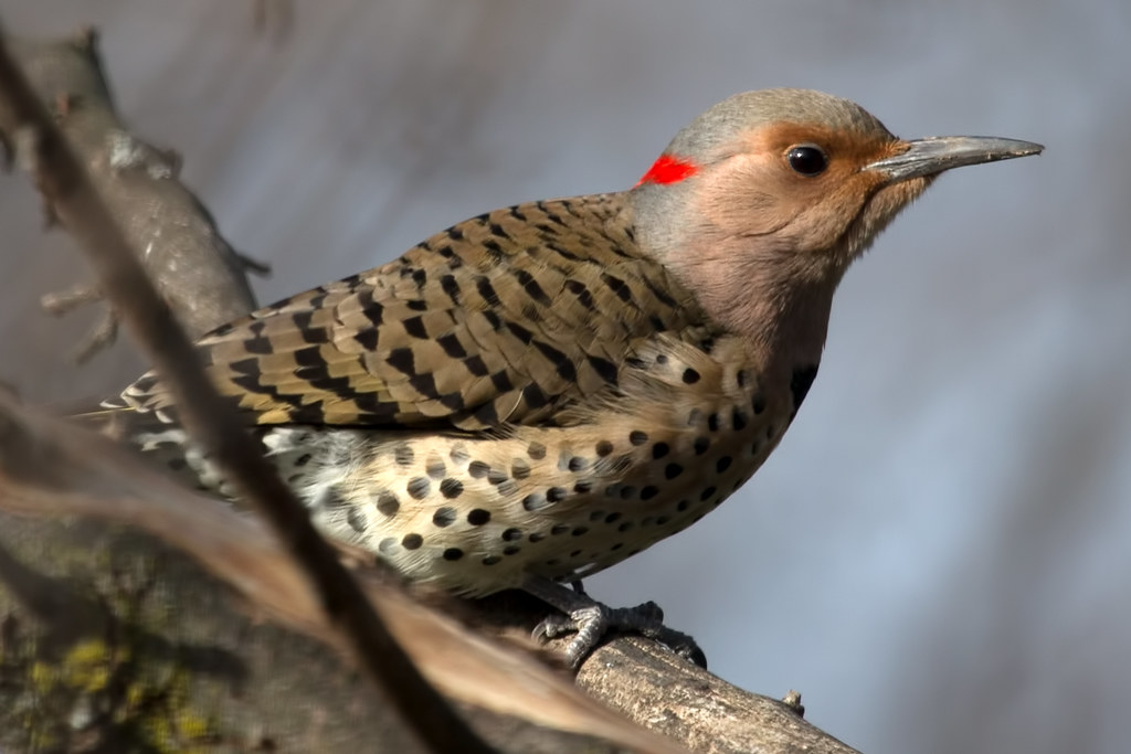 Northern Flicker_6545 | Female Northern Flicker - The only ...