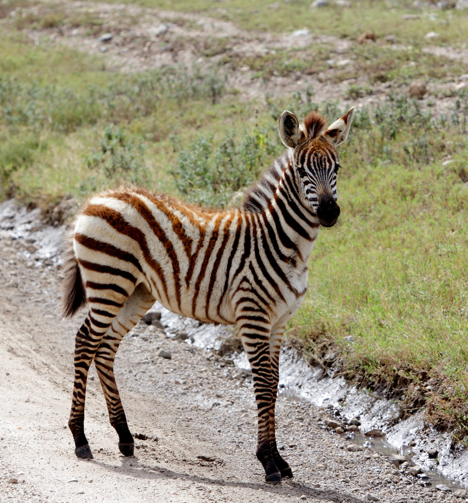 Zebra baby close encounter with a live plush toy