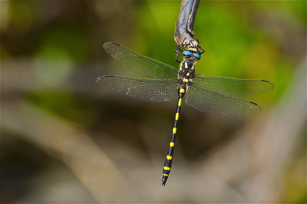 Large Dragonfly With Turquoise Eyes Twin Spotted Spiketai