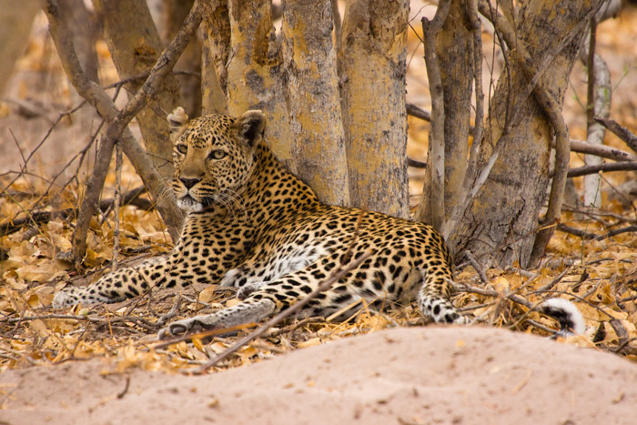 Image Gallery Leopard Camouflage