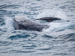 seals-orcas-whales-dolphins-23
