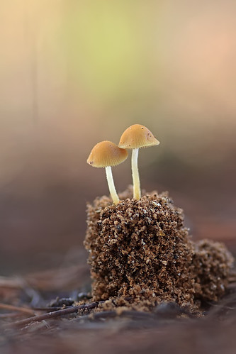 """Conocybe"" 