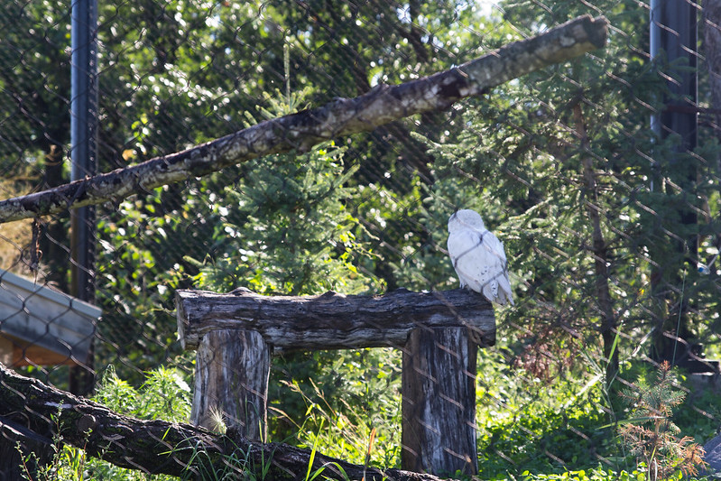 Snowy Owl, Assiniboine Zoo, Winnipeg, Manitoba | packmeto.com