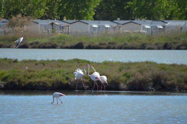 Flamingos in Palavas-les-Flots at French coast