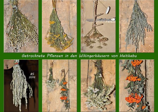 Haithabu: Heil-, Arznei- und Küchenkräuter der Wikinger - Wildkräuter des Nordens ... getrocknete Kräutersträuße ... fotografiert in den Wikingerhäusern von Haithabu ... Brigitte Stolle 2016