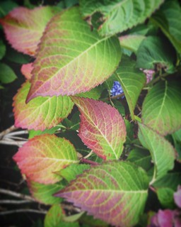 Hydrangea leaves changing color. #fall #foliage | by michellesimkins