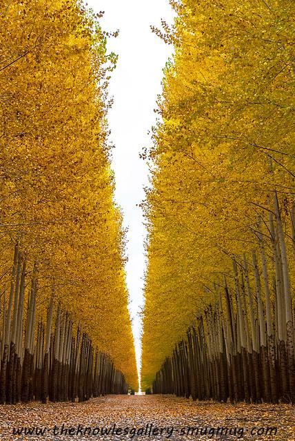 Poplar trees on a tree farm autumn   Bright yellow leaves