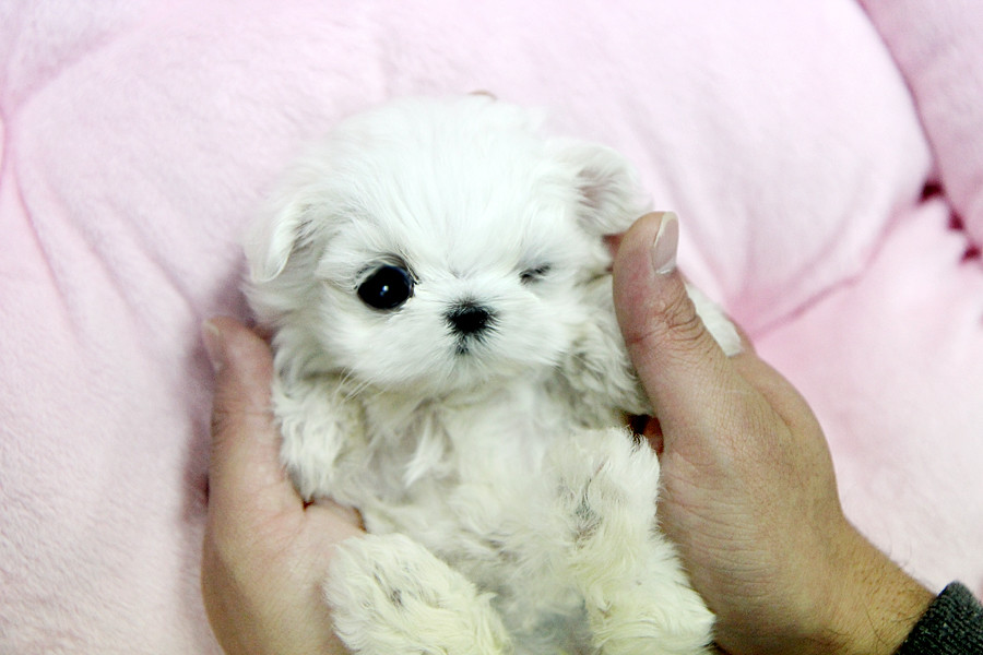 Adorable teacup maltese puppy | This teacup maltese puppy ...