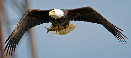 American Bald Eagle w/Fish | by Brian E Kushner