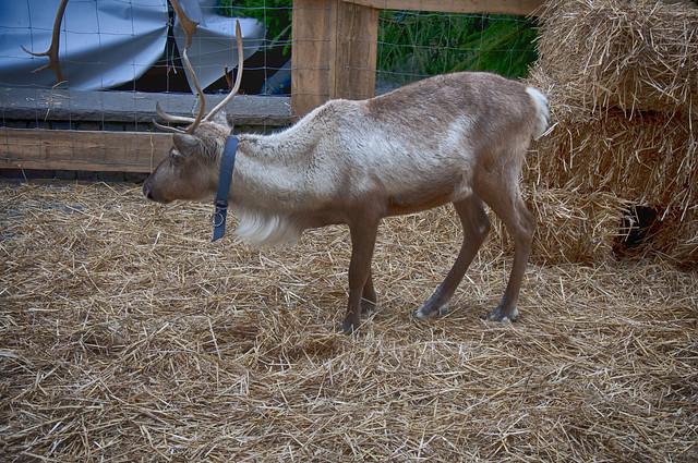 R Reindeer Real Rudolph the real Reind...