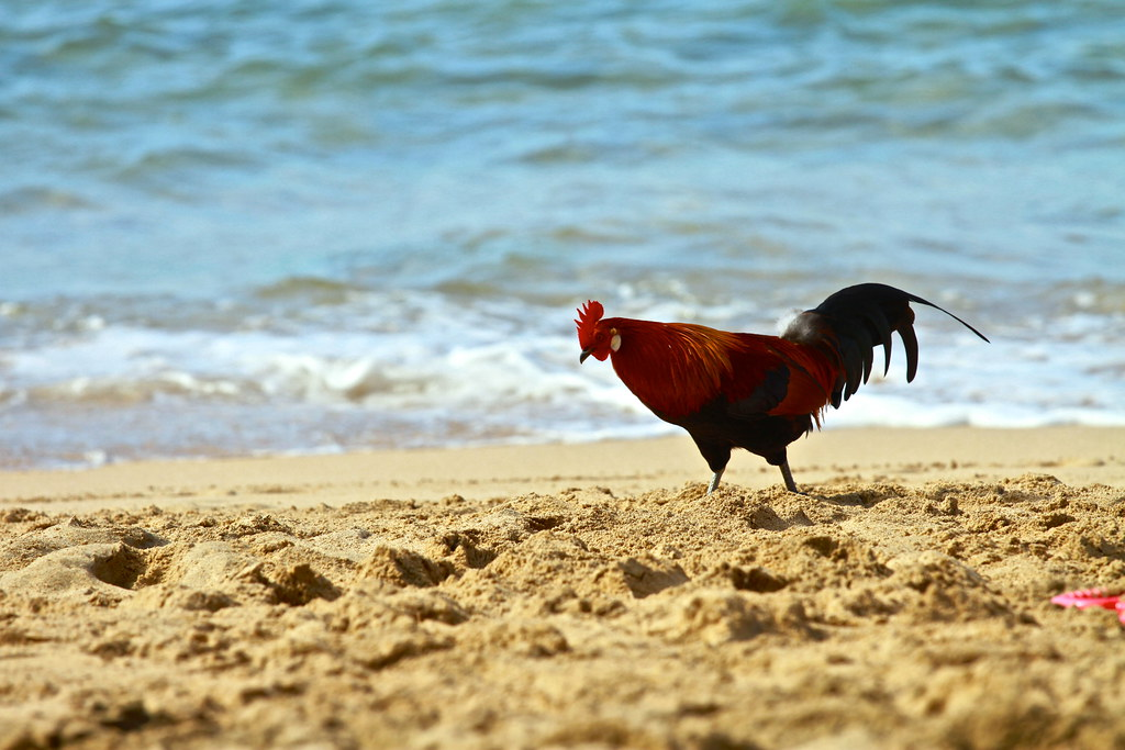 Kauai Rooster On Ke E Beach Roosters Are Everywhere In