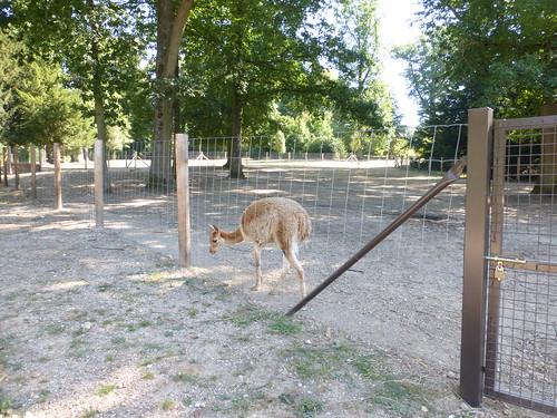 Visite au parc zoologique de thoiry 78 vigogne for Parc zoologique 78