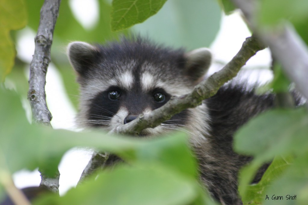 free hq baby raccoon - photo #47
