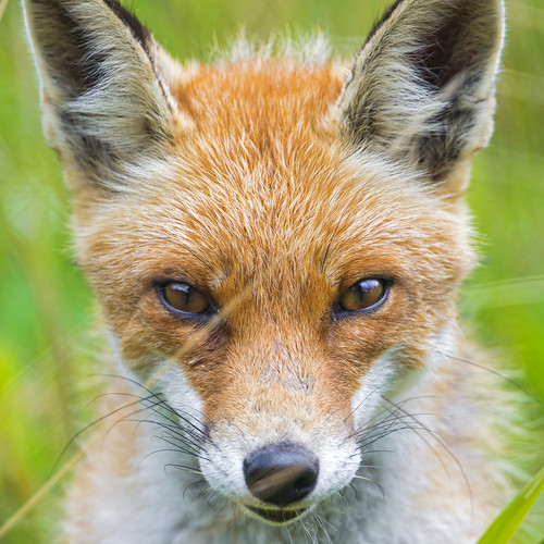 Close portrait of a male fox II | by Tambako the Jaguar
