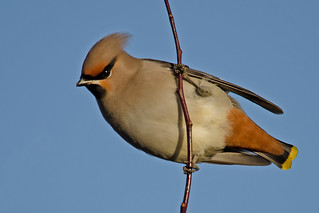 Waxwing | by MOZBOZ1
