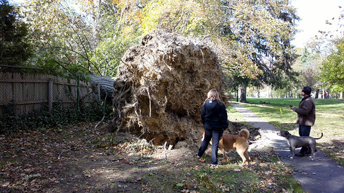 Huge Uprooted Tree - Aftermath Of Hurricane Sandy; Long Island, New York | by hogophotoNY