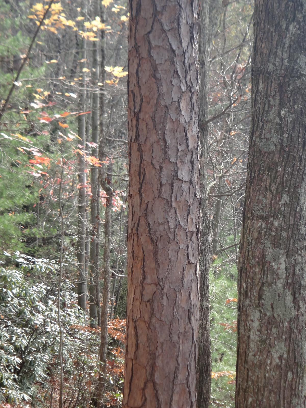 Shortleaf Pine Leaf Shortleaf Pine Bark Pinus