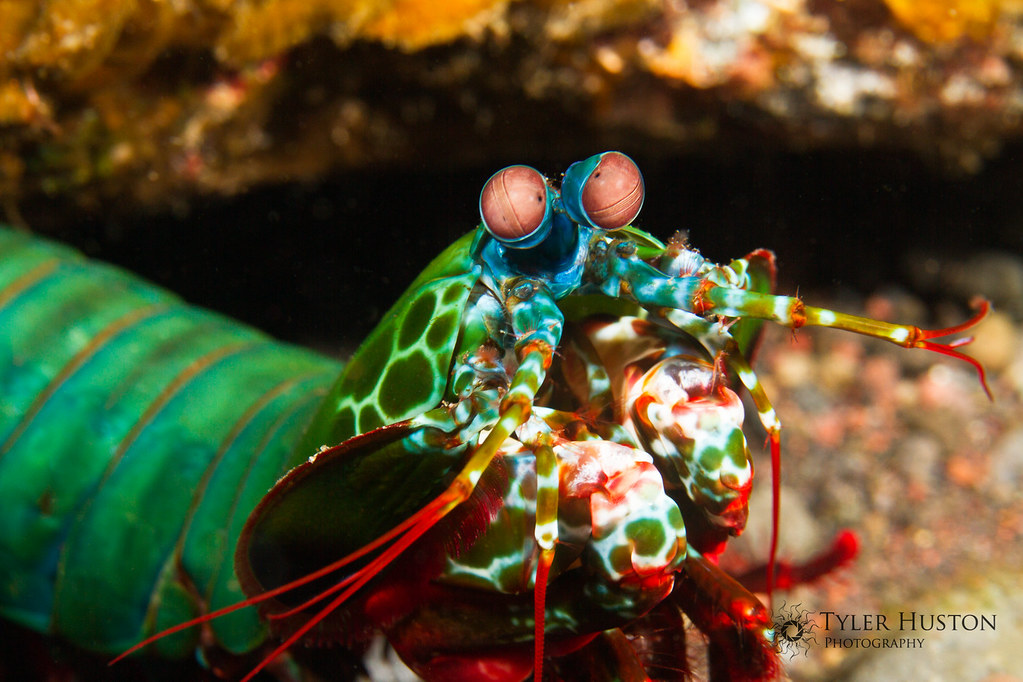 Peacock Mantis Shrimp | This funny-eyed creature is a Peacoc… | Flickr