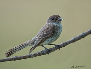 Eastern Phoebe | by CR Courson